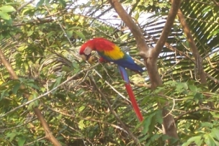 Macaw_beside_house.JPG
